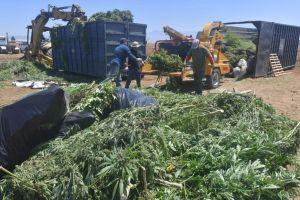 Lucha contra marihuana ilegal en California elimina más de un millón de plantas y 455 granjas de cultivo