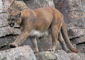 Sacrifican a dos leones de montaña por ataque a niño en Colorado