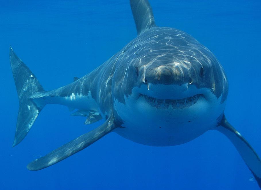 Dron captura tiburones blancos alrededor de surfistas en San Clemente