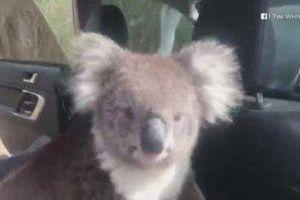 Un koala se mete en un auto con la familia, el motivo te sorprenderá