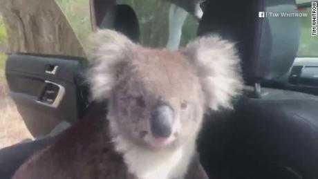 Un koala disfrutando del ac.