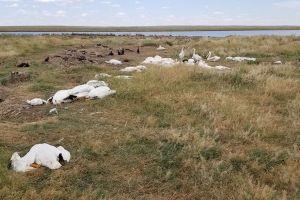 Más de 11,000 pájaros muertos caen del cielo en Montana