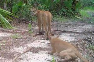 Atropellan y matan a una pantera de Florida, una especie en peligro de extinción