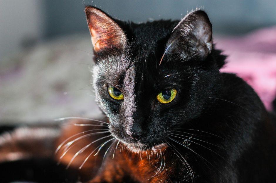 """La """"macabra"""" razón por la que aumenta la desaparición de gatos negros en Octubre, mes de Halloween"""