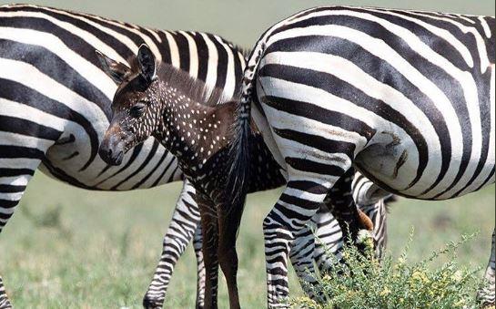 Nace cebra con puntos en vez de rayas