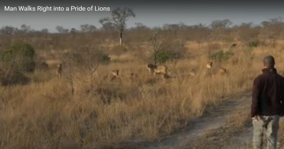 VIDEO: Este hombre caminó directo hacia… una manada de leones