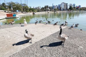 Encuentran cuerpo flotando en el lago del legendario parque MacArthur de Los Ángeles