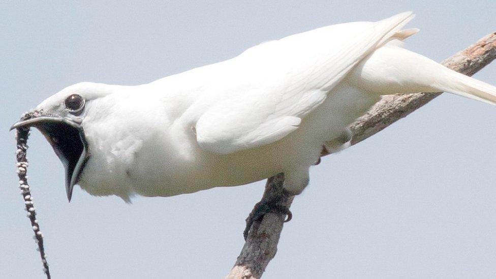 Campanero blanco, la pequeña ave capaz de producir el canto más fuerte jamás registrado en la Tierra