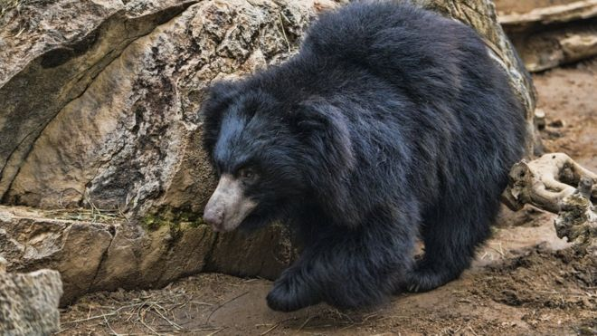 Detenido por cortar penes a osos y comérselos para aumentar su potencia sexual