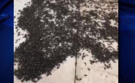 Grillos invaden el norte de Texas