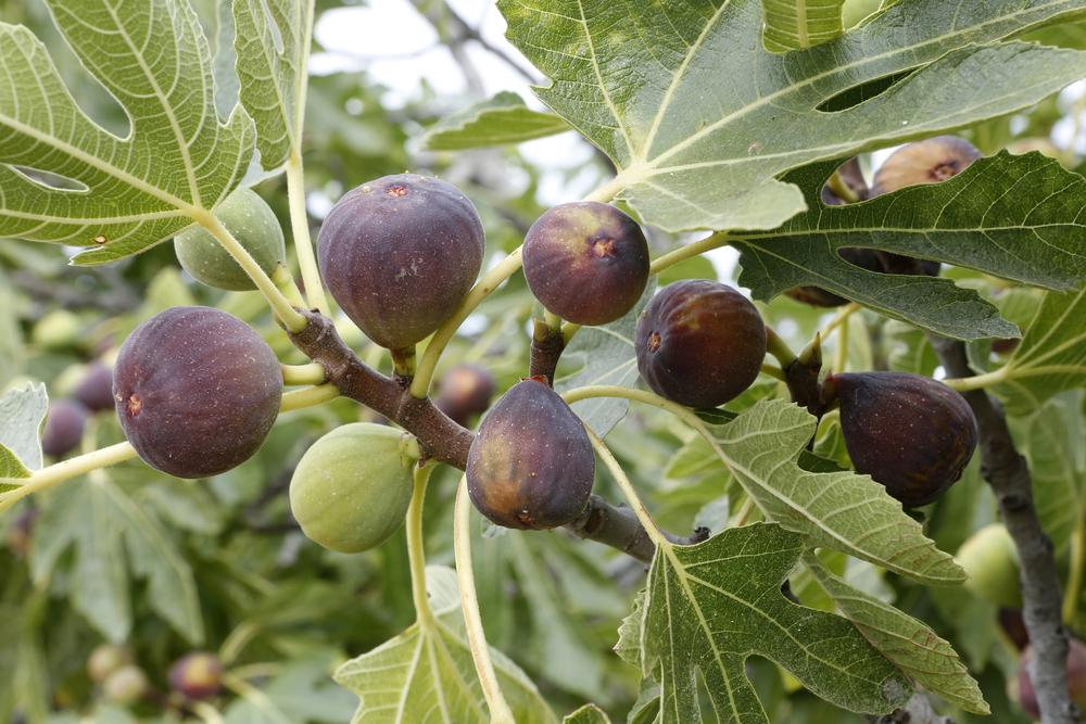 árbol de té para adelgazar