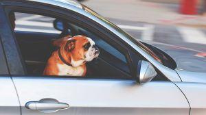Tus mascotas corren peligro si conduces con ellas sueltas en el interior del automóvil