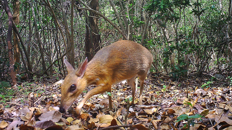 Ciervo ratón, el diminuto animal que reapareció frente a una cámara tras 30 años desaparecido