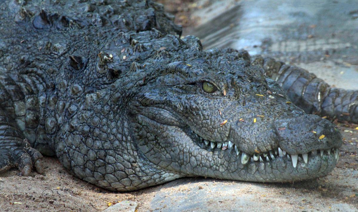 Invasión de cocodrilos en Florida tras las inundaciones de la tormenta Eta
