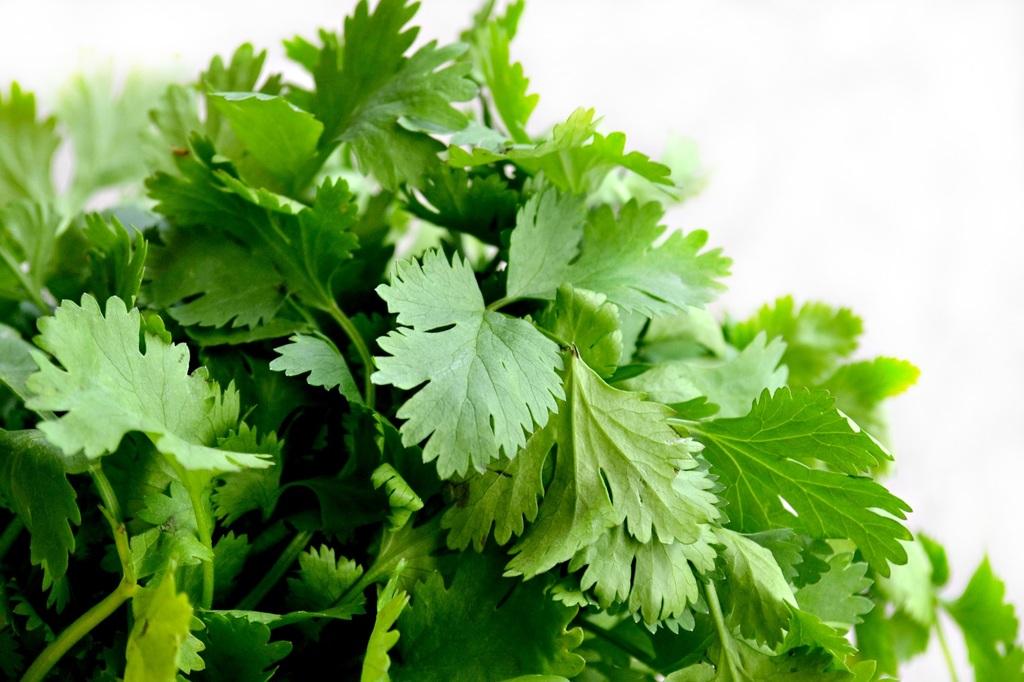 El poder curativo del té de cilantro