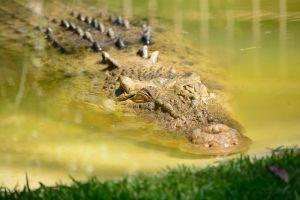 Mujer es devorada por cocodrilo al intentar acariciarlo