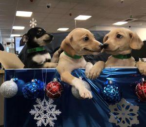 Ofrecen cachorritos en venta, ¡y estafan a las personas que los quieren comprar!