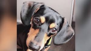 Veterinario mata al perro equivocado, los dueños quedan destrozados