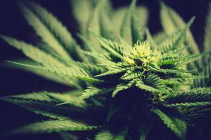 Recaudan casi $5 millones para el uso de la marihuana recreativa en Florida