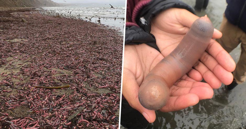 """Miles de """"peces pene"""" aparecen en una playa de California"""