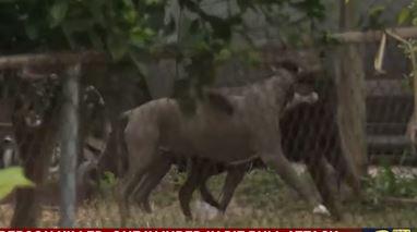 Ataque mortal de perros pit-bull deja una mujer muerta y a otra herida en Houston