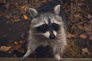 """Reportan un asalto en una casa, pero resultan ser una """"banda de mapaches"""""""