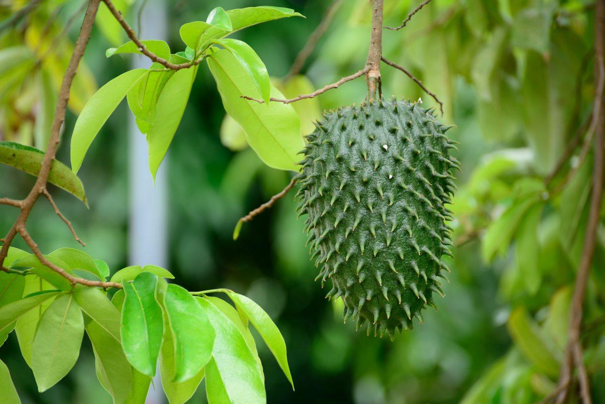 ¿Las hojas de guanábana sirven para curar el cáncer?