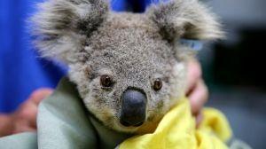 Nace el primer koala después de los incendios de Australia, ¡te encantarán las imágenes