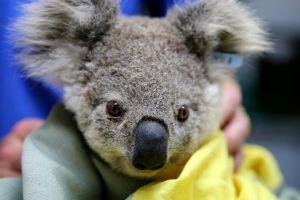 Un niño tiene una idea para salvar a los animales en Australia