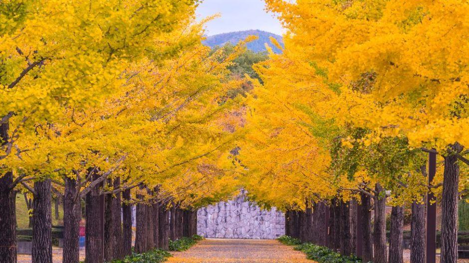 Ginkgo biloba: cuál es el secreto de estos árboles para vivir más de 1,000 años