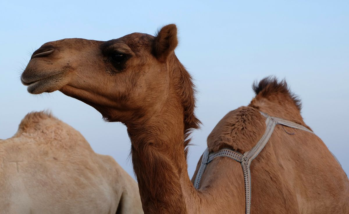 Los camellos están poniendo en riesgo a las comunidades de aborígenes.