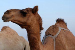 Australia sacrificará más de 10,000 camellos ante escasez de agua