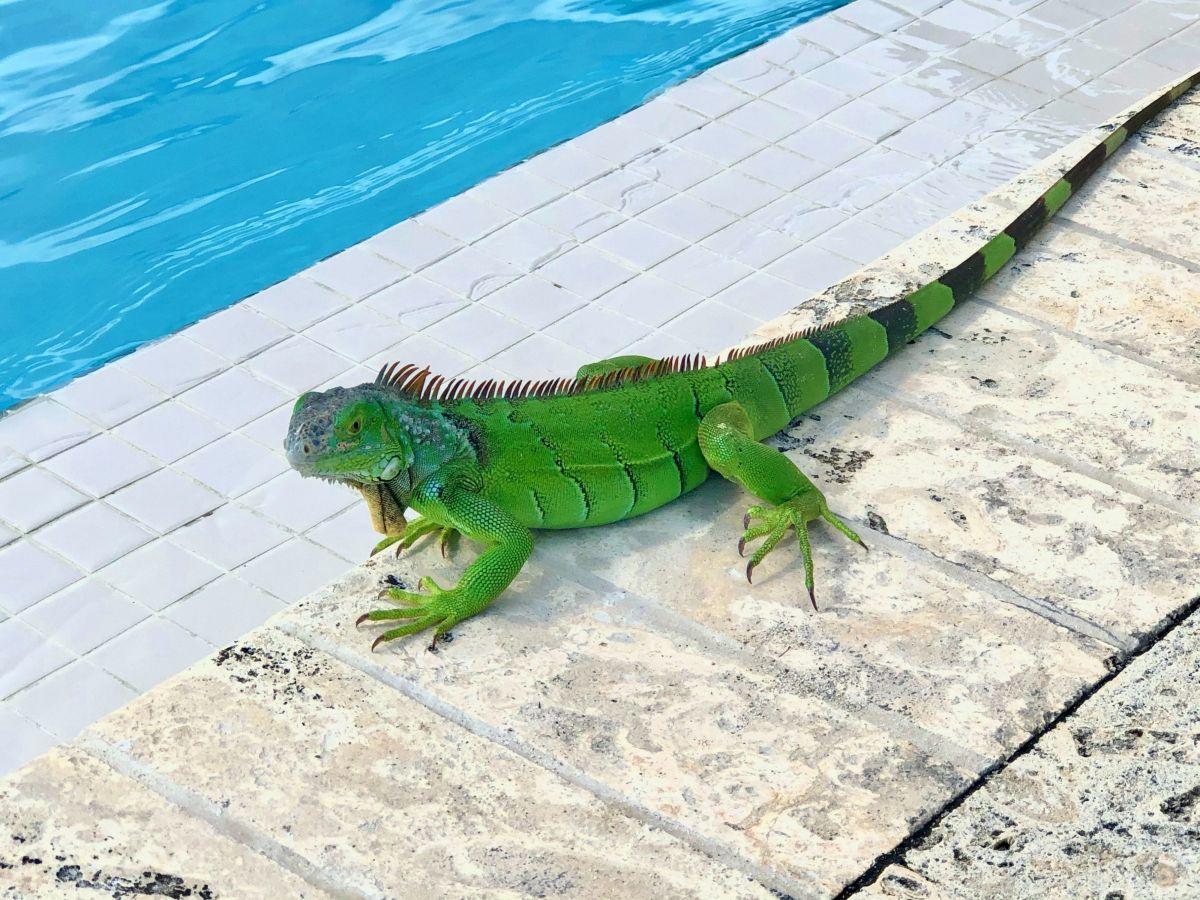 Las iguanas son especies invasoras en Florida.