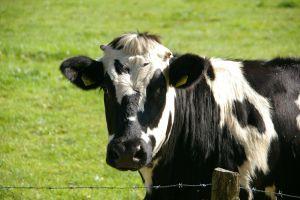 Vaca se arrodilla y llora para no ser sacrificada