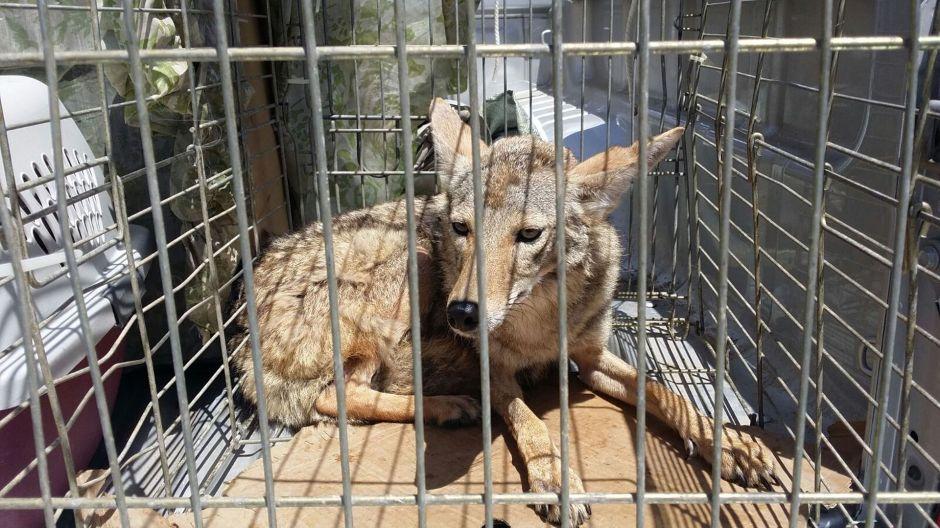 Nuevo ataque de coyotes en Chicago, ¿qué está pasando?