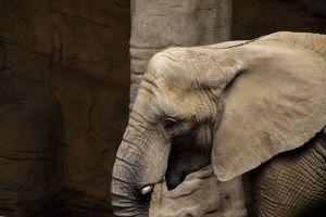 La insólita imagen del hombre que salva a un elefante bebé con masaje cardiaco tras un atropello