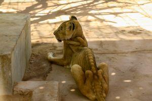 Las impactantes e indignantes fotos de leones desnutridos en zoo de Sudán