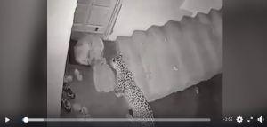 Jaguar entra a una casa y mata al perro de la familia