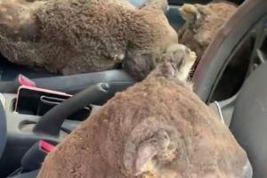 Dos jóvenes convierten su auto en una ambulancia para salvar koalas