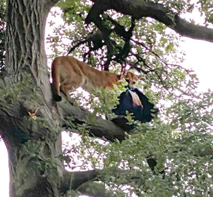 ¡Ataque salvaje! Puma toma por el cuello a niño de 3 años en condado de Orange