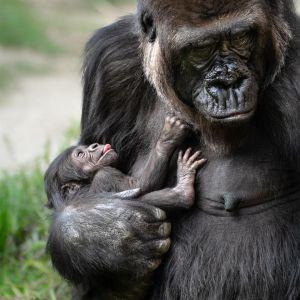 """""""¡Es hembra!"""", nuevo bebé gorila en el zoológico de Los Ángeles"""