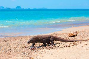El dragón de komodo, la especie que podría desaparecer por invadir su isla
