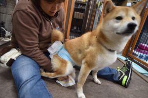 La utilidad de los pañales para perros