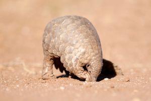 Por qué se come el pangolín, el animal más traficado del mundo y posible transmisor del coronavirus