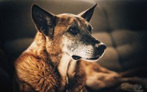 El color del pelo de un perro es indicador de enfermedades