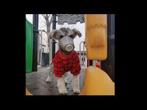 FOTOS: Hasta las mascotas se protegen contra el coronavirus en China