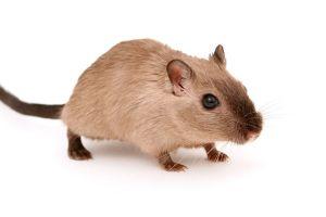 Estafador usaba ratas para que hoteles no le cobraran el hospedaje en Utah