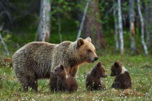 Fotógrafo captó a 3 pequeños osos en medio de un bosque haciendo algo increíble
