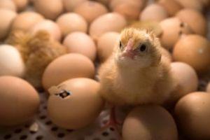 Triturados vivos: La crueldad que viven los pollos macho en la industria avícola