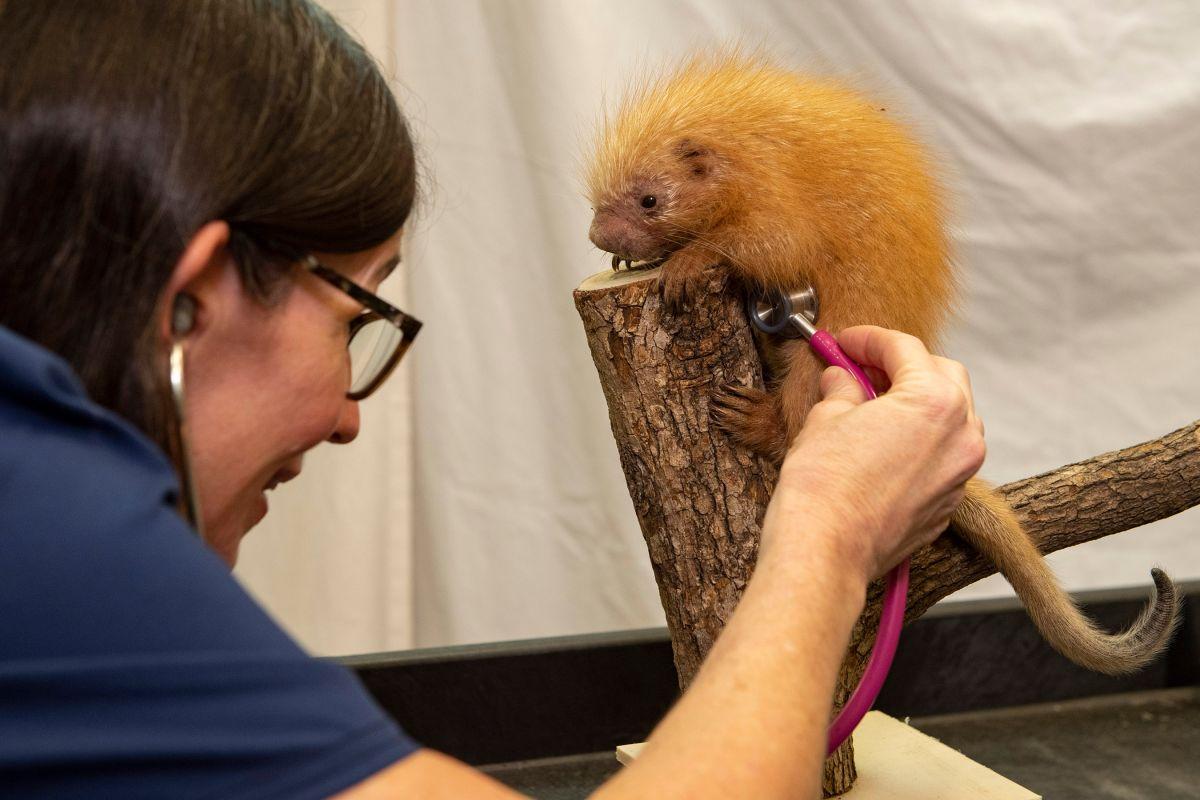 Disney's Animal Kingdom da la bienvenida a bebé puercoespín pese a cierre por coronavirus